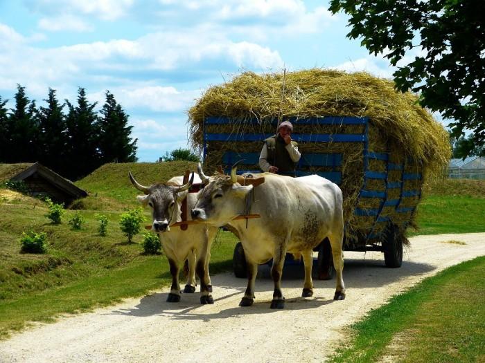 Puteți restabili chiar și cele mai seci pămînturi în scurt timp, dacă veți crește în gospodărie tauri sau vaci