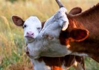 Коровы оказывается бывают умней собак и милее кошек (Видео)