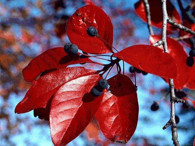 Нисса лесная - красавица, которую посадишь весной и не нарадуешься осенью (+Фото)