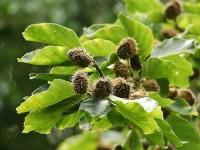 Plantăm fagul! Nucile de fag sînt comestibile şi gustoase
