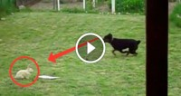 Ce face acest cîine de luptă cu iepurele, trebuie să vedeți (VIDEO)