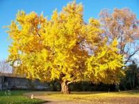Тысячелетнее дерево Гинкго Билоба с невероятно лечебными свойствами