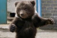 Маленький медвежонок помогает рыхлить огород (Видео)