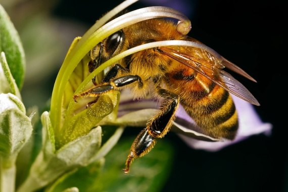 Самый лучший опылитель всех растений в мире это Пчела