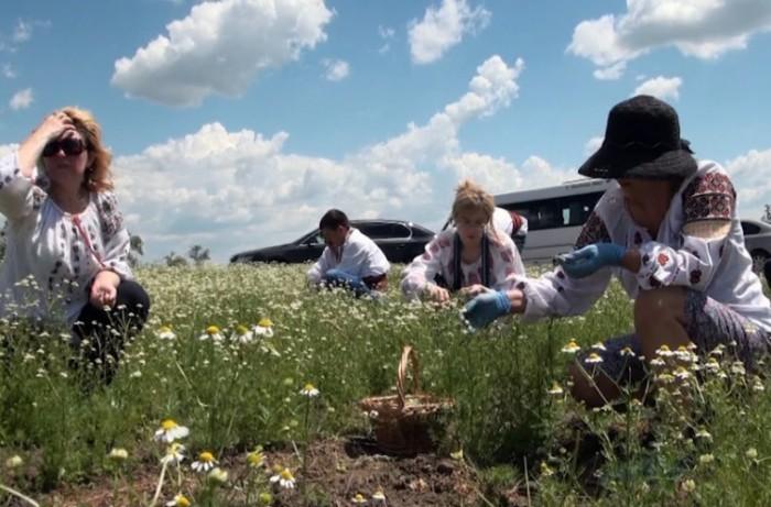 «Viorica Cosmetic» выращивает свои органические и экологические ромашку и календулу (+Видео)