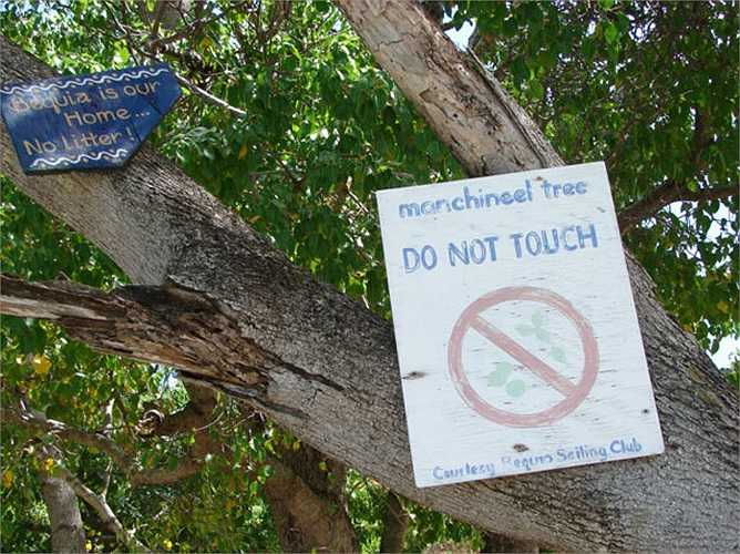 Самое ядовитое дерево на свете (+Фото)