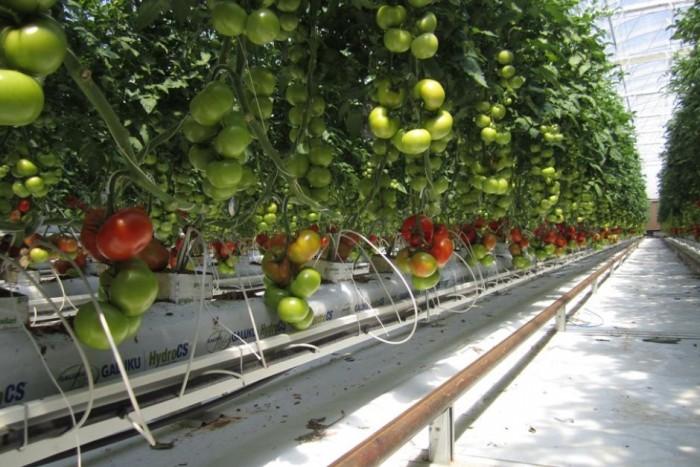 Теплица для помидор производит питьевую воду из солнечной энергии (+Фото)