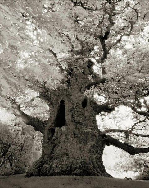 Самые древние деревья земли (Фото)