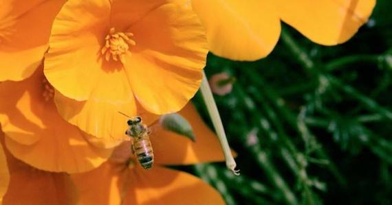 Пчелы перестанут умирать от клещей, в помощь им природные пестициды
