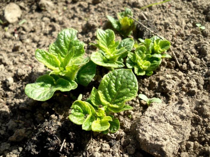 Деготь поможет защитить ваш картофель почти от всех паразитов (+Видео)