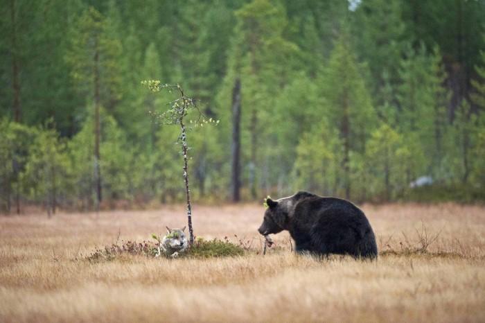 Необычная дружба волка и медведя в дикой природе (Фото)