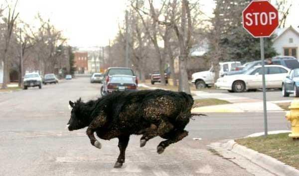 Корова Молли стала символом свободы угнетенных животных