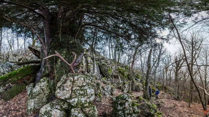 Какое самое старое дерево в России? (+Фото)