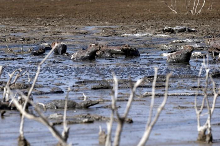 Крупнейшая засуха в Парагвае и Аргентине унесла большое количество особей животного мира (+Фото)Крупнейшая засуха в Парагвае и Аргентине унесла большое количество особей животного мира (+Фото)