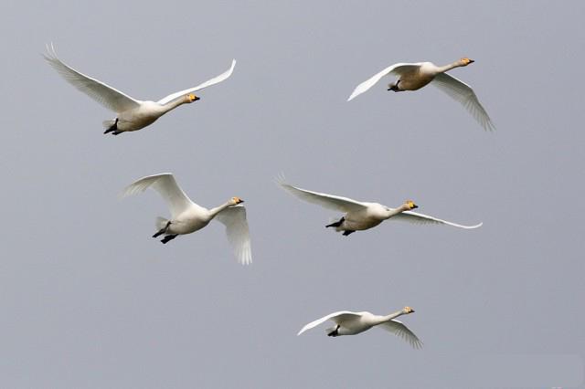 Лебеди полетели на юг! (Фото)