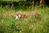 Мурчание довольного леопарда (Видео)