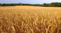 Почему рекордный сбор зерна может привести фермеров к банкротству?