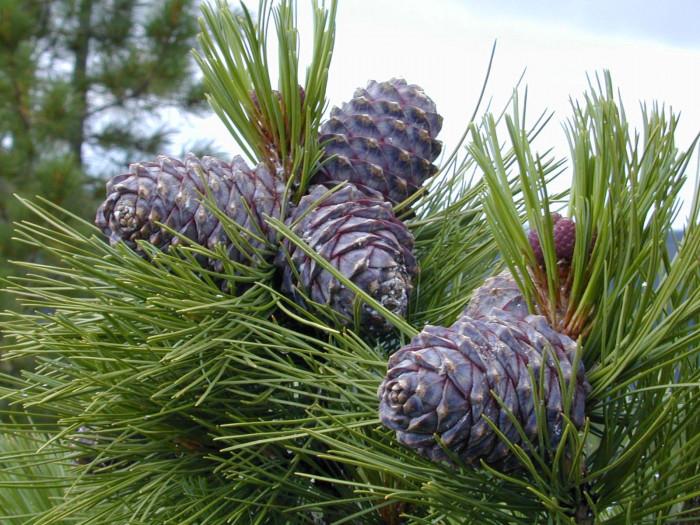 Рекомендации по выращиванию кедров от практика (+Видео)