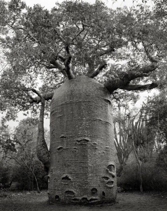 Старейшие деревья на Земле (Фото)
