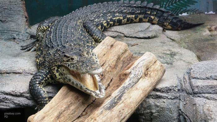 Самый дружелюбный на свете аллигатор (Видео)