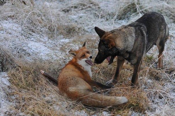 Необычная дружба лисы и собаки (Фото)