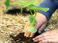 Как правильно посадить тыкву?