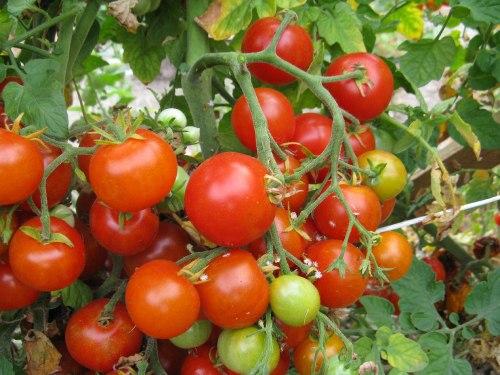 Сейчас все больше входят в моду мелкоплодные сорта томатов
