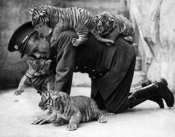 Смотритель зоопарка и тигрята