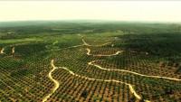 Последствия вырубки тропических лесов ради пальмовых плантаций (Видео)