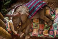 Спасенный слонёнок в слоновьем приюте на севере Кении