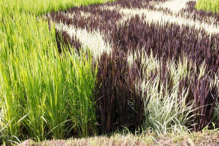 Картины художников на рисовых полях (+Фото)