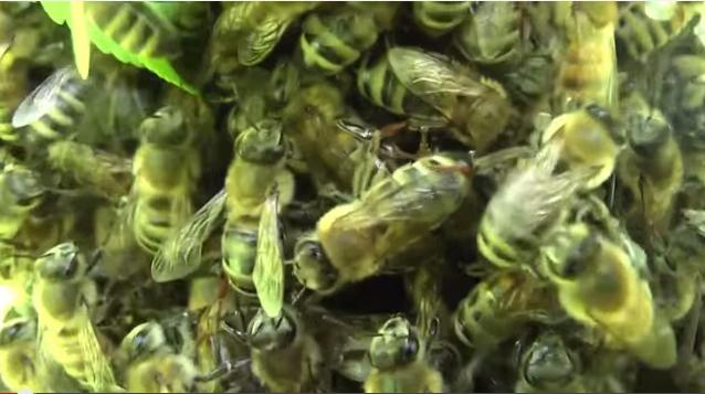 Колодное пчеловодство. Как перезимовали и живут пчелы в колоде (Видео)