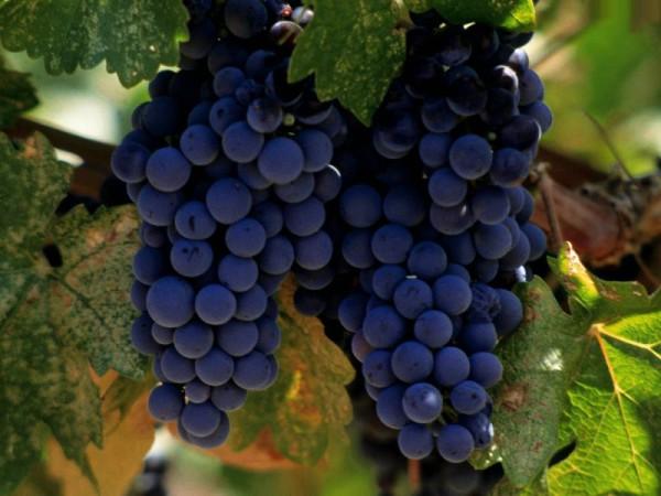Как правильно вырастить виноград