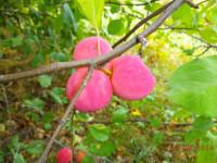 Яблони из семечек могут давать вкусные плоды