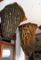 Пчелы прямо под крышей (Фото)