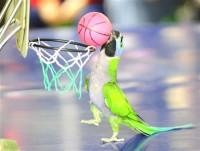 Попугайчики играют в баскетбол (Видео)