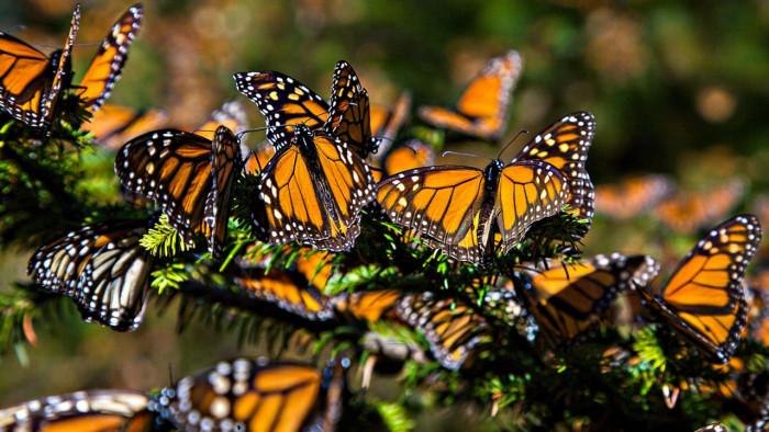Столько красивых бабочек вы еще не видели (Видео)