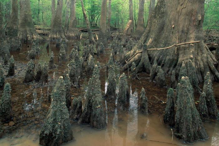Редкие красивые деревья - Таксодиумы (+Фото)