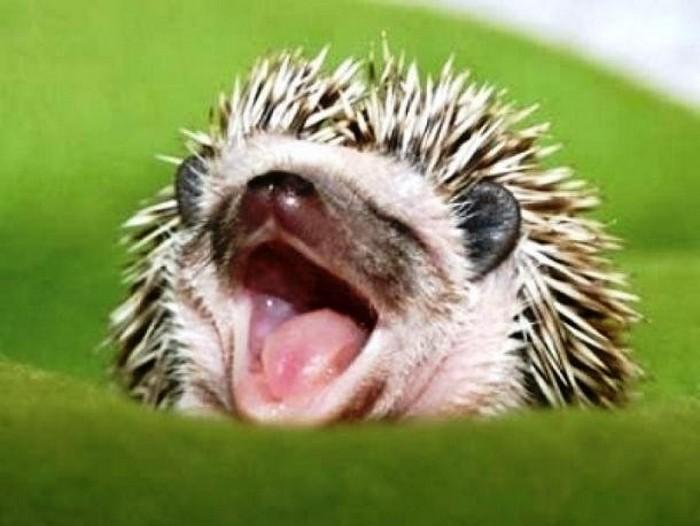 Эти забавные животные, были замечены зевающими (+Фото)