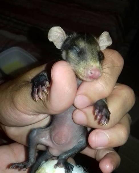 Собака из Бразилии приютила опоссумов (+Фото)