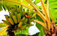 Как выращивать бананы в суровом климате (Видео)
