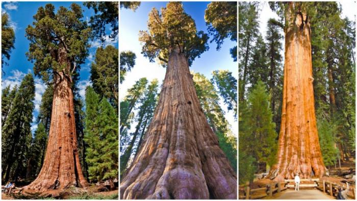 Огромнейшие деревья на Земле (Видео)