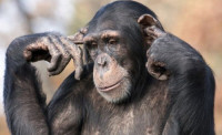 Шимпанзе осталось жить немного! Но, ее ожидал сюрприз, который принес огромную радость (Видео)