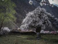 600 летнее дерево растет в Кыргызстане (Видео)
