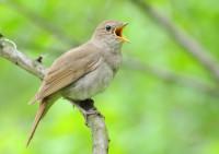 Пение соловья и лесных птиц активирует все системы организма (Видео)