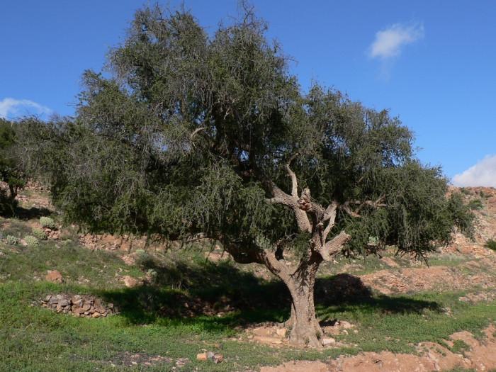 Дерево, которое добывает нефть из земли (+Фото)