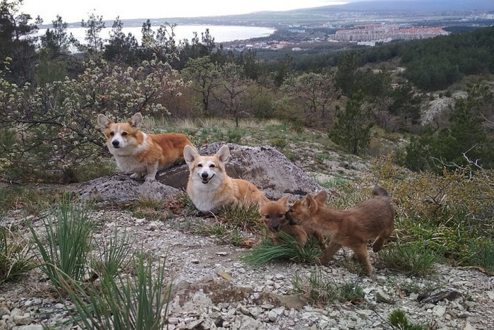 Собаки усыновили сирот волчат (Видео)