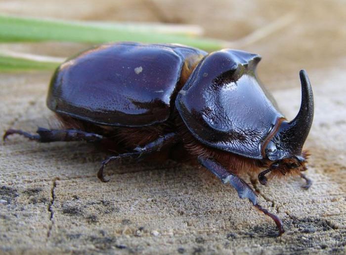 Этот вид жуков занесён в Красную Книгу. Не губите их, они не опасны! (+Фото)