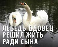 Лебедь вдовец решил жить ради сына (Видео)