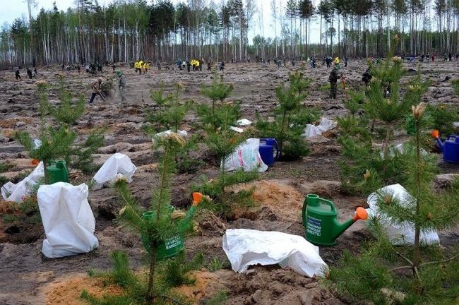 В России началось стихийное движение по возрождению сгоревшего леса